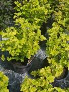 healthy-garden-perennials-ottawa