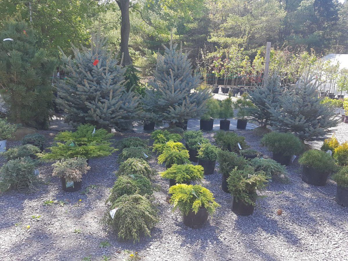 Ottawa fir trees and evergreens