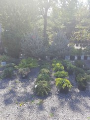 ottawa-fir-trees_20180516_105835