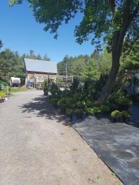 ottawa-fir-trees_20180516_105918