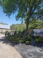 ottawa-fir-trees_20180516_105922