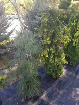 ottawa-fir-trees_20180516_110329