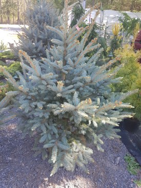 ottawa-fir-trees_20180516_110342