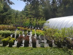 Perennials for your garden from Carp Garden Centre
