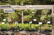 annual-plants-flowers-ottawa-garden-centre_LDP_5407