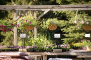 annual-plants-flowers-ottawa-garden-centre_LDP_5417