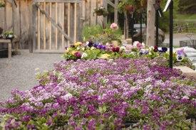 annual-plants-flowers-ottawa-garden-centre_LDP_5445
