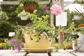 annual-plants-flowers-ottawa-garden-centre_LDP_5448