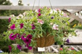 annual-plants-flowers-ottawa-garden-centre_LDP_5449