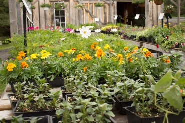annual-plants-flowers-ottawa-garden-centre_LDP_5531