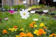 annual-plants-flowers-ottawa-garden-centre_LDP_5532