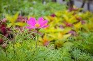 annual-plants-flowers-ottawa-garden-centre_LDP_5534