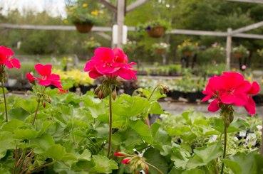 annual-plants-flowers-ottawa-garden-centre_LDP_5540-Edit