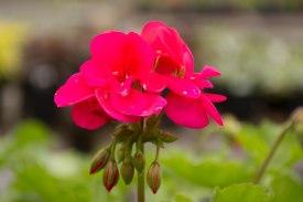 annual-plants-flowers-ottawa-garden-centre_LDP_5542