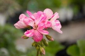 annual-plants-flowers-ottawa-garden-centre_LDP_5544