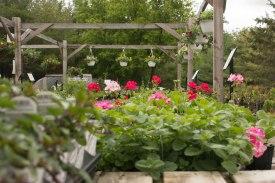 annual-plants-flowers-ottawa-garden-centre_LDP_5547
