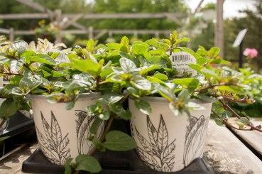 annual-plants-flowers-ottawa-garden-centre_LDP_5548
