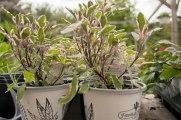 annual-plants-flowers-ottawa-garden-centre_LDP_5549