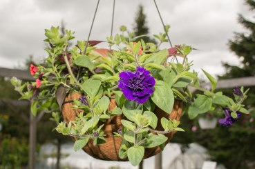 annual-plants-flowers-ottawa-garden-centre_LDP_5586