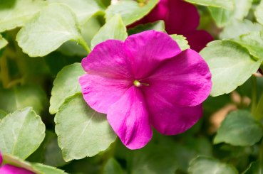 annual-plants-flowers-ottawa-garden-centre_LDP_5608