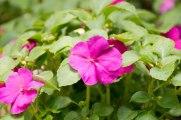 annual-plants-flowers-ottawa-garden-centre_LDP_5610