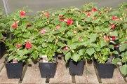 annual-plants-flowers-ottawa-garden-centre_LDP_5612