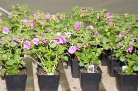 annual-plants-flowers-ottawa-garden-centre_LDP_5613