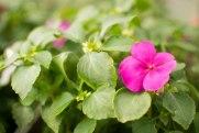 annual-plants-flowers-ottawa-garden-centre_LDP_5624