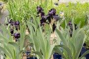 perennial-plants-flowers-ottawa-garden-centre_LDP_5479
