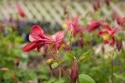 perennial-plants-flowers-ottawa-garden-centre_LDP_5481