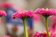 perennial-plants-flowers-ottawa-garden-centre_LDP_5484