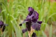 perennial-plants-flowers-ottawa-garden-centre_LDP_5485