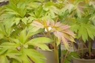 perennial-plants-flowers-ottawa-garden-centre_LDP_5491