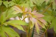 perennial-plants-flowers-ottawa-garden-centre_LDP_5492