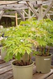 perennial-plants-flowers-ottawa-garden-centre_LDP_5493