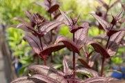 perennial-plants-flowers-ottawa-garden-centre_LDP_5504