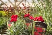 perennial-plants-flowers-ottawa-garden-centre_LDP_5515