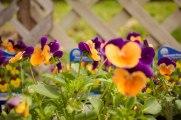 perennial-plants-flowers-ottawa-garden-centre_LDP_5520
