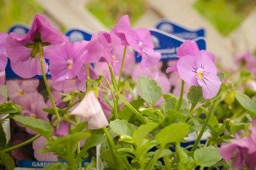perennial-plants-flowers-ottawa-garden-centre_LDP_5521