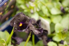 perennial-plants-flowers-ottawa-garden-centre_LDP_5523