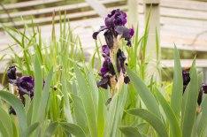 perennial-plants-flowers-ottawa-garden-centre_LDP_5529-2