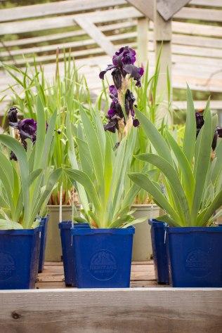 perennial-plants-flowers-ottawa-garden-centre_LDP_5529