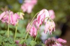 perennial-plants-flowers-ottawa-garden-centre_LDP_5616