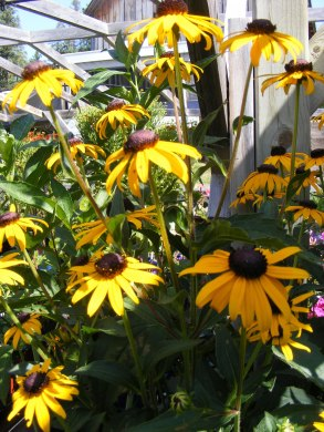 ottawa-fall-perennial-plants-carp-garden-centre_DSCF1697 (2)