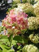 ottawa-fall-perennial-plants-carp-garden-centre_DSCF1712 (2)