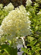 ottawa-fall-perennial-plants-carp-garden-centre_DSCF1713 (2)