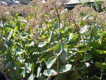 sedum-plants-fall-perennials-carp-garden-centre_DSCF1685
