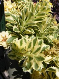 sedum-plants-fall-perennials-carp-garden-centre_DSCF1687 (2)