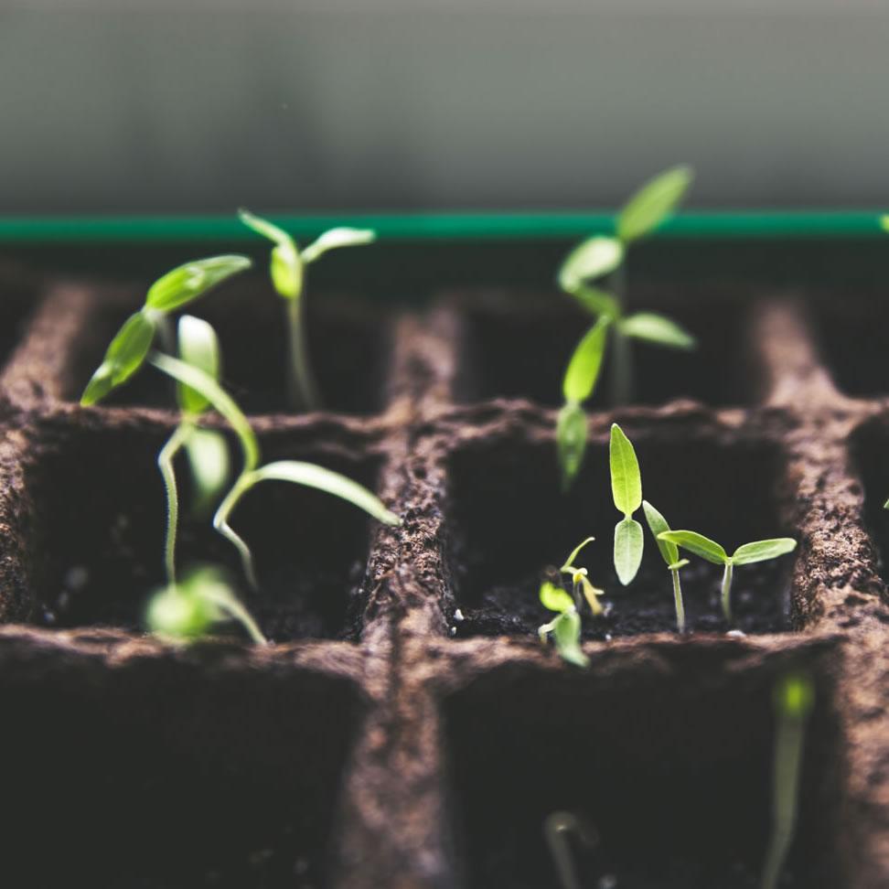 veggie seedlings in a tray