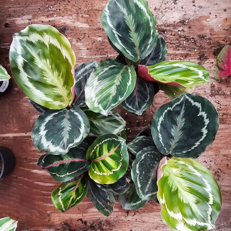 Click to buy Calathea Medallion and other tropicals from our online store